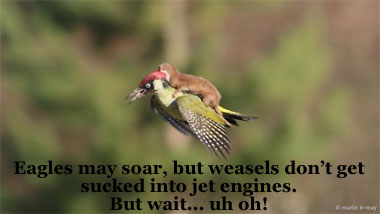 Eagles may soar, but weasels...